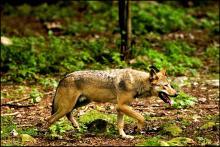 Halvdelen i rundspørge vil gøre det lettere at skyde ulve