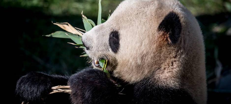 Danskere: Pandaer vil fremme handelsmuligheder med Kina